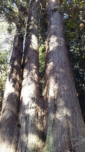 Giant_cedar