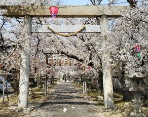 20190407cherry-blossoms