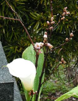 Sakura_at_grave