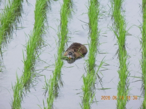 Rice-plant-eating-nutria